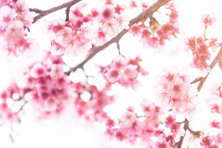 Chiang Mai | Thailand Japan Sakura Backgrounds Beauty In Nature Blossom Botany Branch Cherry Blossom Cherry Tree Close-up Flower Flower Head Fragility Freshness Growth Low Angle View Nature Outdoors Petal Pink Color Plum Blossom Selective Focus Springtime Tree