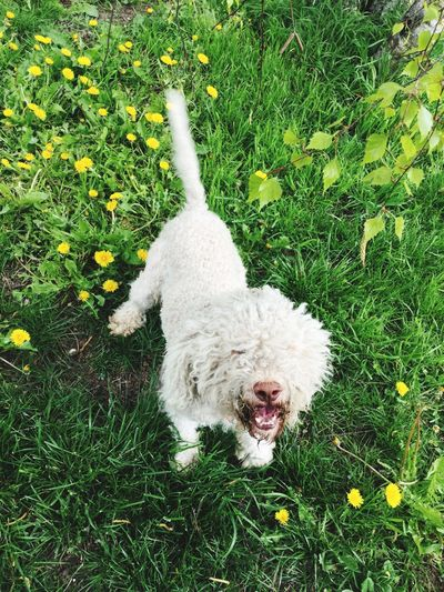 Grass One Animal Dog Domestic Animals Pets Animal Themes High Angle View Lagotto Mammal Field Day Outdoors No People Growth Nature Full Length