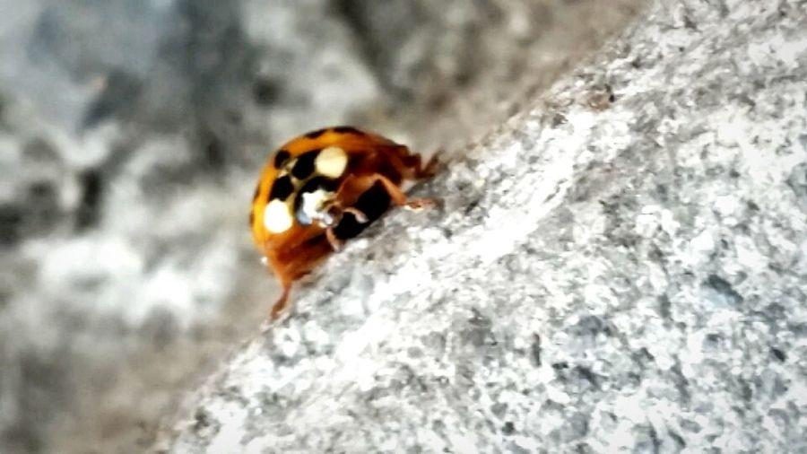 Urban insect, the one that brings joy and luck . Ladybug Mariquita Marienkäfer Catarina Insekten Orange Anaranjado Luckybug Amulett Mysecondphoto Insect Close-up Animal Themes Arthropod Animal Antenna