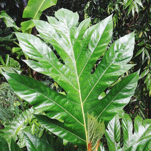 Big Leaf Leaf Close-up Green Color Plant Leaf Vein Natural Pattern RainDrop Monsoon Plant Life Dew