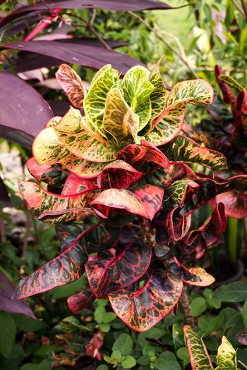 Croton Garden Croton Natural Beauty In Nature Close-up Day Foliage Fragility Freshness Growth Houseplant Leaf Leaves Nature No People Outdoors Plant Purple Variegated Laurel