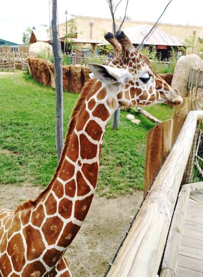 Animal Themes Giraffe Zoo Day One Animal Animal Markings Close-up Nature Animals In The Wild Mammal Live For The Story
