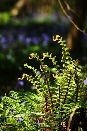 Fern amongst bluebells Plant Growth Beauty In Nature Focus On Foreground Day Close-up Flowering Plant Flower Nature Green Color No People Freshness Fragility Vulnerability  Sunlight Outdoors Tranquility Selective Focus Leaf Plant Part