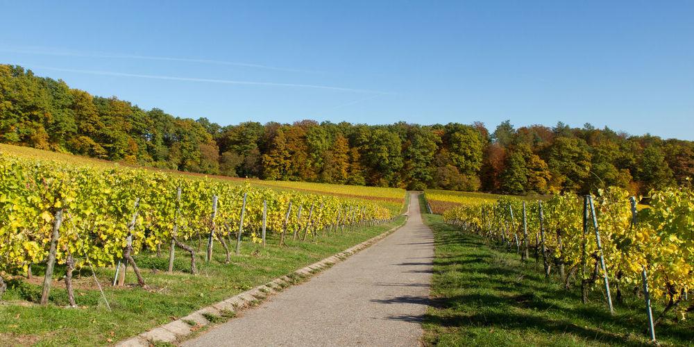 Vineyard in
