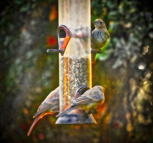 Avian Bird Bird Feeder Close-up Dusk House Finches Outdoors Sunset