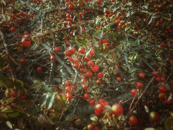 Abundance Artistic View Bushes Change Cherry Close-up Cotoneaster Focus On Foreground Food And Drink Freshness Fruit Growing Growth Grunge Style Hanging Healthy Eating Leaf No People Red Red Berries Ripe Stem Twig Urban Nature Variation