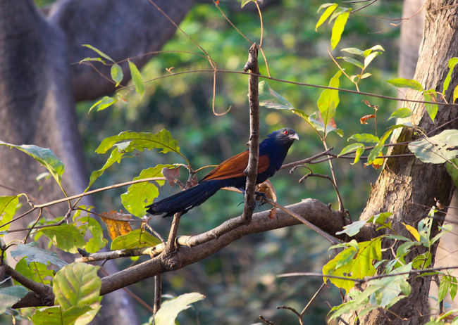Coucal- A member of cuckoo family Beauty In Nature Bird Bird With Brown Feather B Branch Brown Feather Black Tail Crow Pheasant Cuckoo Cuckoo Bird Greater Caucal Growth No People Outdoors Perching