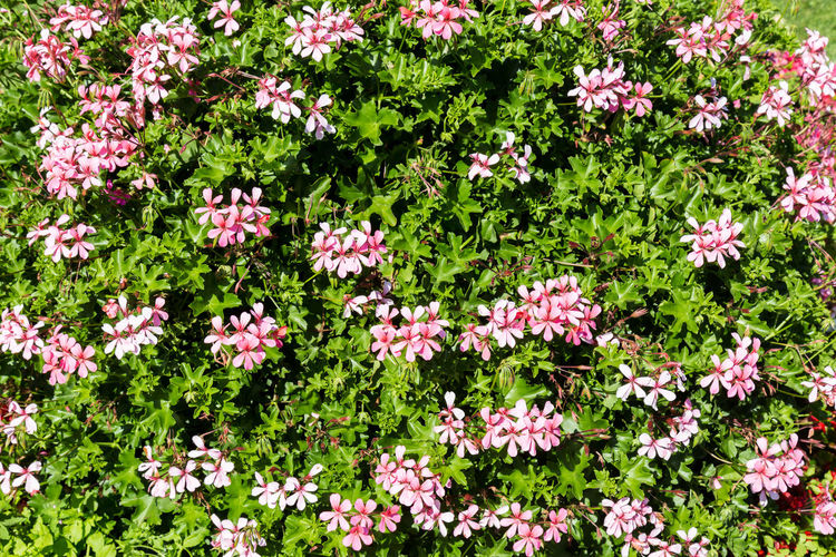 Pink Trailing Geraniums Geraniums Pink Beauty In Nature Blooming Botany Day Flower Fragility Freshness Full Frame Growth Nature No People Outdoors Pink Color Plant Spring Summer Trailing Geraniums Trailing Plant Vegetation