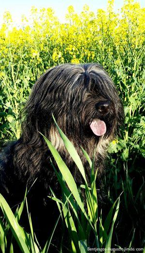 Bentjesgosaugustin Gos D'atura Ilovemydog Mydog Dog Walking Landscape Dog I Love My Dog Beauty #flower #spring #happiness Nature