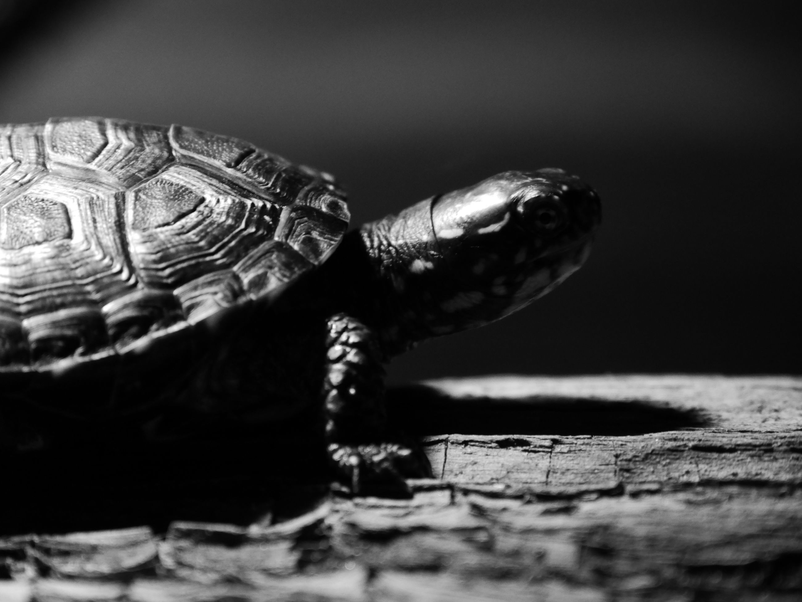 close-up, one animal, animal themes, wildlife, animals in the wild, focus on foreground, animal shell, selective focus, turtle, art and craft, indoors, reptile, natural pattern, no people, single object, pattern, creativity, animal representation, art, day