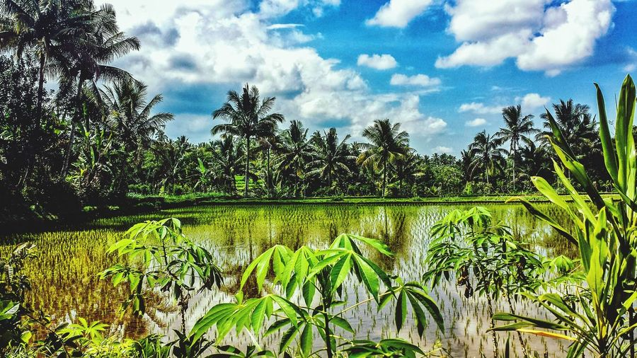 INDONESIA Lombok Praya Tetebatu Clouds Water ASIA Blue Sky Afternoon Southeast Asia Hills Fields Outdoors Sunshine Bucolic Jungle Palm Trees Rice Rice Paddy