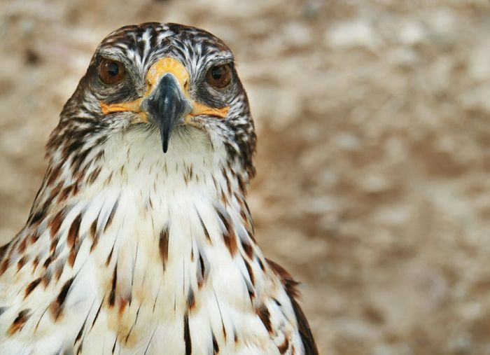 Close-Up Portrait Of Eagle Looking Away