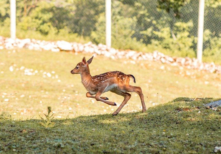Side view of deer running on field