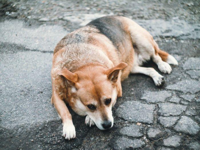 Dog Canine Mammal Domestic Domestic Animals One Animal Pets Animal Themes Animal Footpath Vertebrate High Angle View Relaxation No People Street Day Lying Down Cobblestone Sleeping Stray Animal
