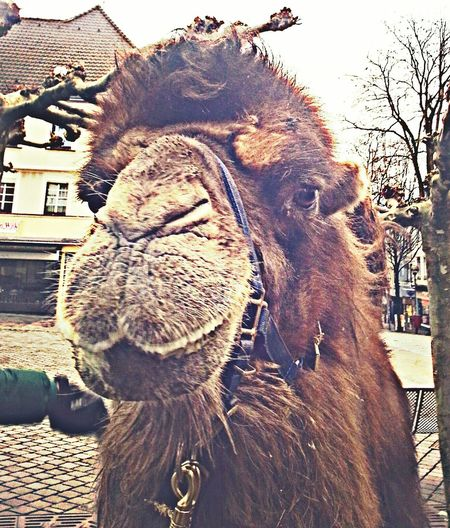 Oh ein Kamel ! Outdoors Day Domestic Animals Animal Themes One Animal No People Sky Close-up Mammal Elephant A Camel New On Eyem New On Market Tree