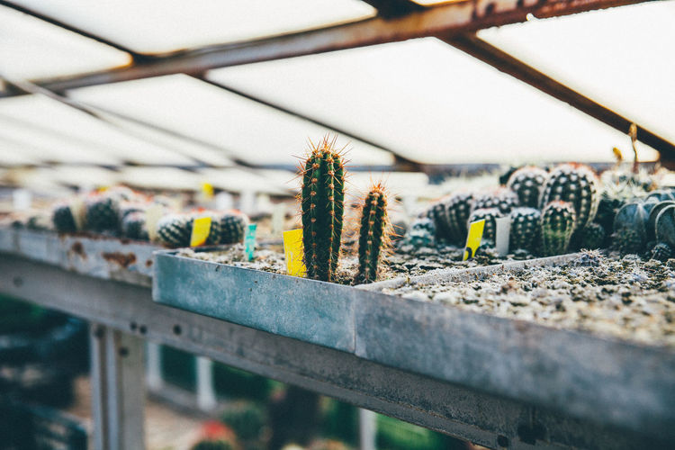Cactuses Growing In Containers At Greenhouse
