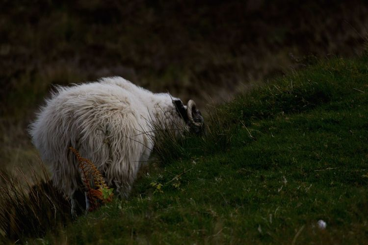 Scotland Isle Of Skye Sheep Animal One Animal Animal Themes Mammal Grass Animal Wildlife Animals In The Wild Plant Vertebrate No People Nature Field Land Livestock Domestic Animals Day Outdoors Domestic