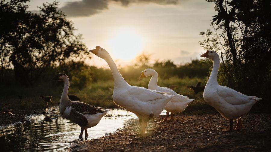 White goose family walking in lake