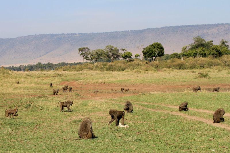 MasaiMara Kenia Safari African Elephant Animal Wildlife Animals In The Wild Day Elephant Landscape Nature No People Outdoors