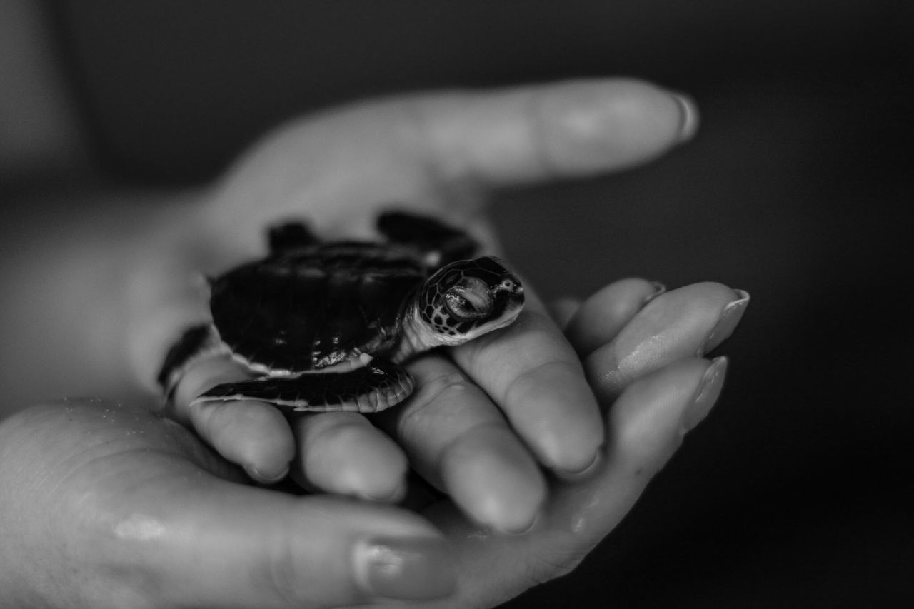 Close-Up Of A Hand Holding Turtle