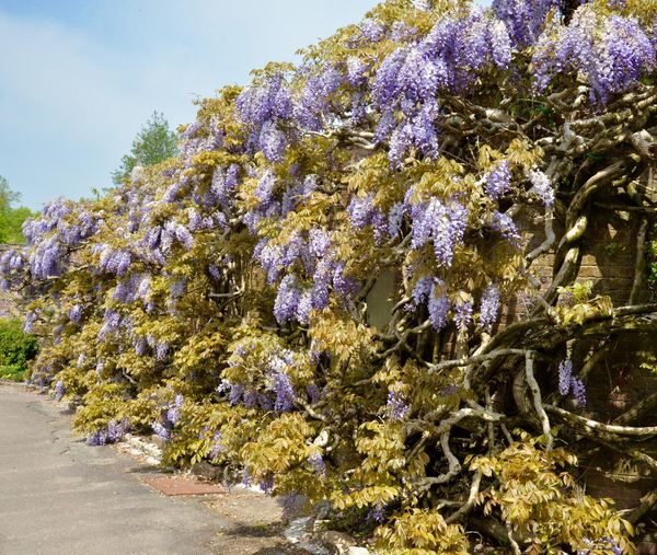 A wall swathed in Wisteria Covered Wall Purple Flower Springtime Blossoms Wisteria Sinensis Trelissick Gardens Cornish Gardens Cornwall Abundance Of Flowers Plant Growth Flowering Plant Beauty In Nature Flower Vulnerability  Tree Outdoors Sunlight Botany Sky Blossom Springtime Freshness No People Day Fragility Nature