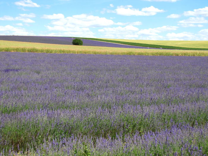 Agriculture Beauty In Nature Cloud - Sky Crop  Day Farm Field Flower Flower Head Fragility Freshness Growth Idyllic Landscape Lavender Nature No People Oilseed Rape Outdoors Plant Purple Rural Scene Scenics Sky Tranquil Scene