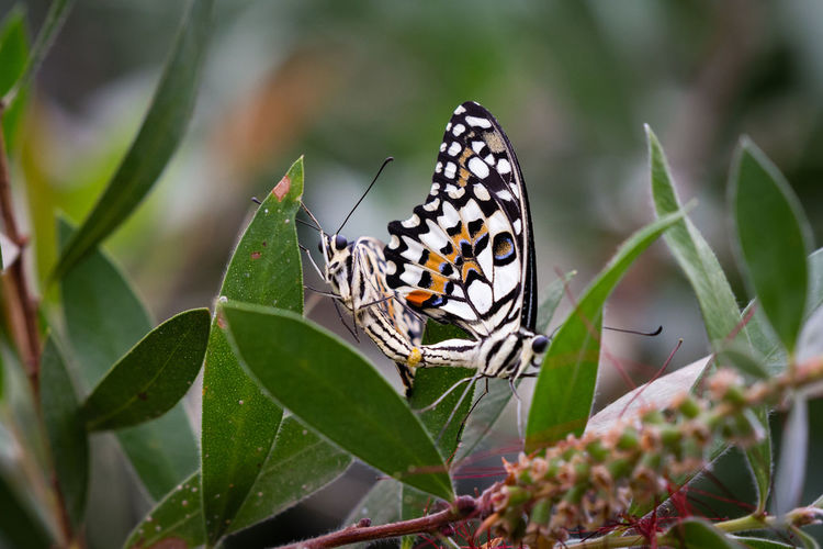 Butterfly Couple against blurred background Copy Space Couple Animal Animal Wildlife Animal Wing Beauty In Nature Butterfly Butterfly - Insect Close-up Copulation Couple - Relationship Insect Invertebrate Marriage  No People One Animal Plant Spring