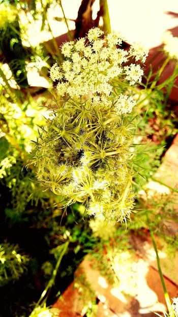 A Curling Carrot Flower... Reminds me of tiny Venus fly traps!!! Nature Growth Day Outdoors Beauty In Nature No People Plant Green Color Close-up Freshness EyeEm Gallery Blossom EyeEm Gallery Nature_collection Growth Nature Green Color Carrot Flowers Carrot Plant