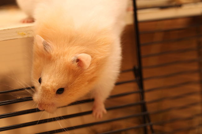 Hamster Love Hamsters Animal Animal Body Part Animal Head  Animal Themes Animal Wildlife Cage Close-up Domestic Domestic Animals Focus On Foreground Hamster High Angle View Indoors  Looking At Camera Mammal No People One Animal Pets Portrait Rodent Vertebrate Whisker