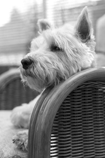 West Highland White Terrier Dog Sitting On Wicker Chair
