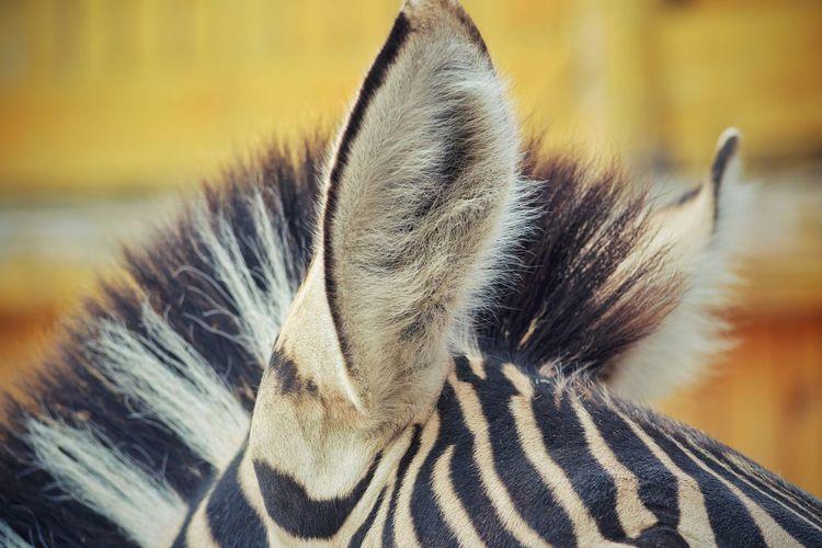 Close-up of zebra ears