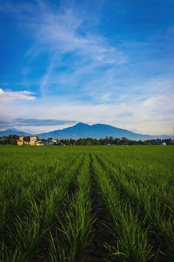 Ricefield before Mt. Talang... Crop  Field Rural Scene Nature Rice Paddy Landscape Cloud - Sky Beauty In Nature Sky Outdoors Wonderful Indonesia INDONESIA Photography EyeEm Selects The Week On EyeEm Lost In The Landscape Mountain Day Perspectives On Nature Be. Ready.