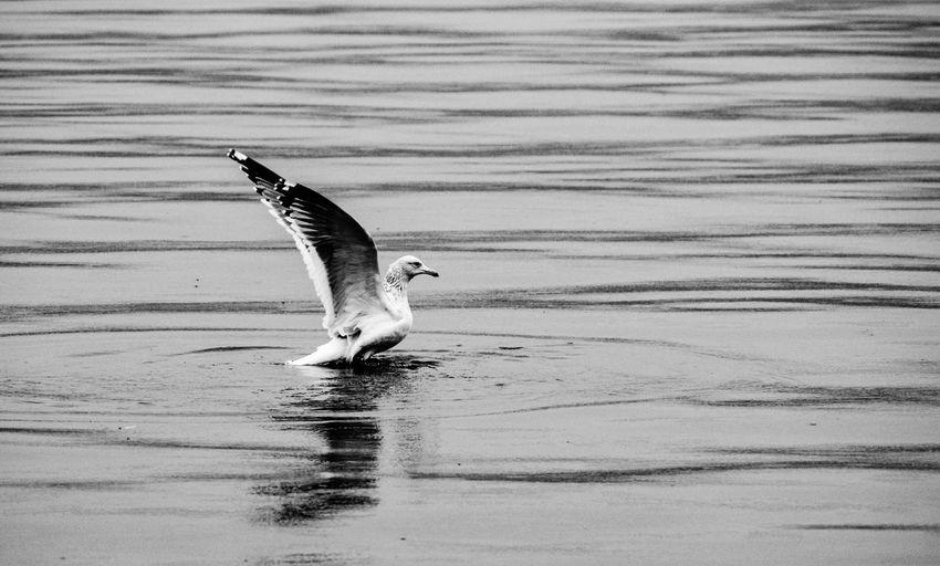 起飞 One Animal Water Animals In The Wild Bird Animal Themes Animal Wildlife Waterfront