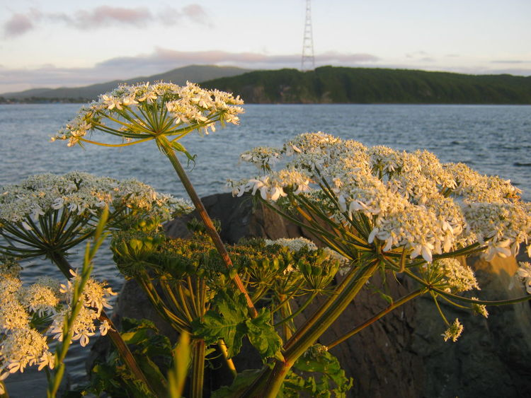 Heraclium flowers in the sunset light East Sea Cloud - Sky Heracleum Flower Flower Head Landscape Sunset Nature Sea Rock - Object Summergefühle