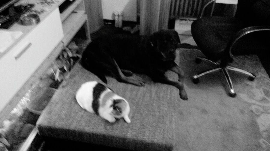 Lilli💋 - Freya♥ Glückskatze Zwei Wie Hund Und Katze Black And White Schwarzweiß B/W Filter @Home { My Lovely RottWeiler } Lilli Mit Freya meine zwei Süßen!! Katze Mit Hund Cat And Dog EyeEm Dog Lover Cat Of EyeEm Dog Of Eyeem @home ♡
