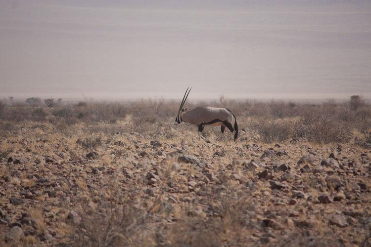 Oryx In A Desert
