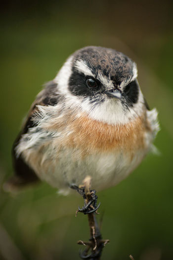 Animal Themes Animal Wildlife Animals In The Wild Beauty In Nature Bird Close-up Day Focus On Foreground Maximum Closeness Nature No People One Animal Outdoors Perching Reunion Island Songbird  Sparrow Tec-Tec