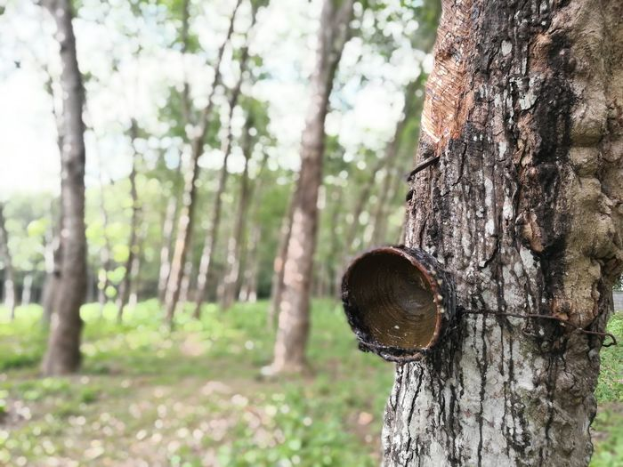 """""""rubber plantation"""" 6/10/2016 Plants 🌱 Nature Rubber Plants Tree Trees Rubber Plantation Rubbertrees Beauty In Nature Plant"""