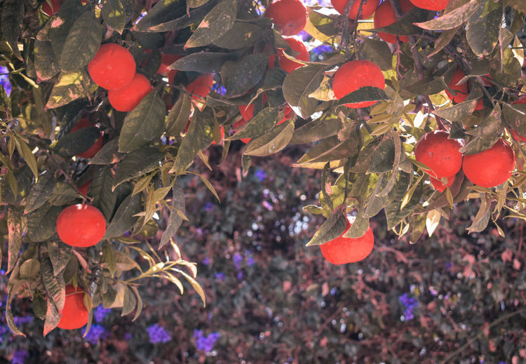 High angle view of red berries growing on tree