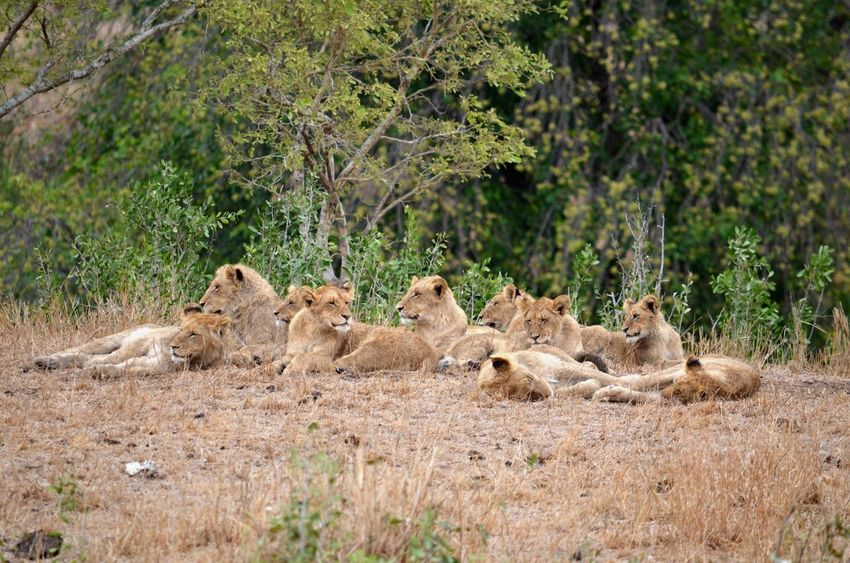 Kruger National Park, South Africa Animal Animal Family Animal Themes Animal Wildlife Animals In The Wild Day Female Animal Lion - Feline Lion Cub Lioness Lying Down Mammal Nature No People Outdoors Relaxation Safari Animals Tree Young Animal EyeEmNewHere EyeEmNewHere My Best Travel Photo