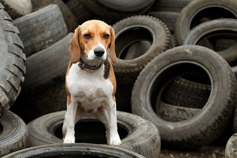 Portrait Of Dog Standing On Tire