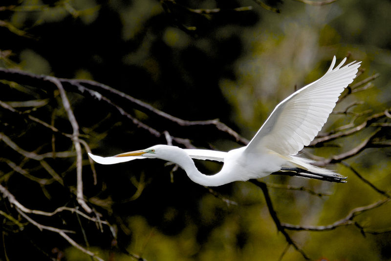 Animal Themes Animals In The Wild Beauty In Nature Bird Day Egret Flying Full Length Great Egret Flyin Nature No People One Animal Outdoors Spread Wings White Color