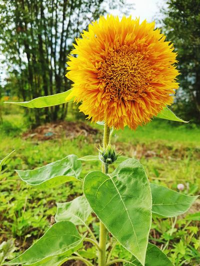 Sunflower🌻 Flower Plant Nature Single Flower Beauty In Nature Outdoors Green Color Yellow Flower Russia Zelentsino