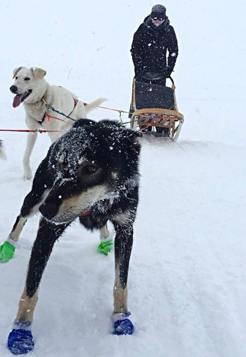 Winter Dog Snow Dog Sledding Animal Themes Cold Temperature Outdoors Freshness Winter Season  White Snow Sports Day