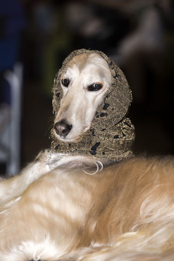 Afghan Hound Dogs Dogs Of EyeEm EyeEm Nature Lover EyeEm Gallery Hat Nature Animal Themes Beauty In Nature Borzoi Close-up Day Dog Dogs Life Dogs Of The World Domestic Animals Focus On Foreground Indoors  Mammal No People One Animal Pets Portrait Sitting