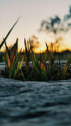 Close-up of grass at sunset