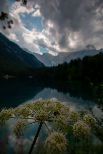 peaceful lago di fusine in front of mount mangart EyeEm Best Shots EyeEm Nature Lover EyeEmNewHere Beauty In Nature Bee Cloud - Sky Day Flower Growth Italy Lake Mountain Mountain Range Nature No People Non-urban Scene Outdoors Plant Reflection Scenics - Nature Sky Tranquil Scene Tranquility Tree Water