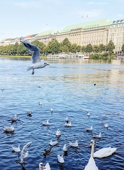 Bird Flying Animal Themes Animals In The Wild Animal Wildlife Water Animal One Animal Outdoors Sea Seagull Flock Of Birds Day Blue Landscape Nature Sky No People Dieperle Hamburg Hamburg Alster