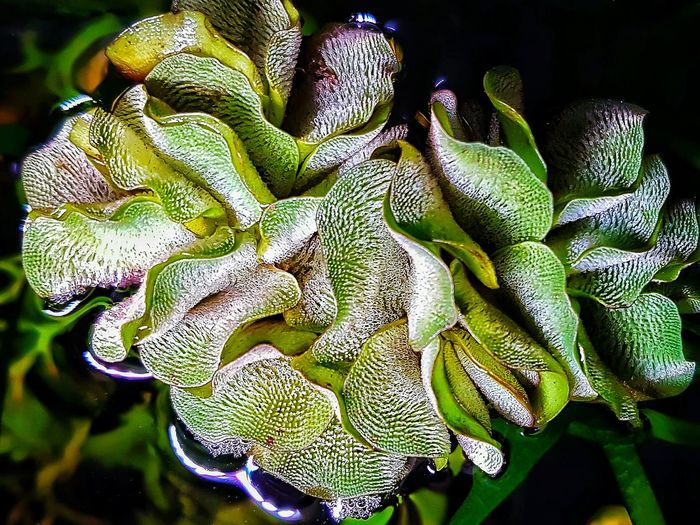 Aquarium Life Green Color Close-up Aquatic Plants Beauty In Nature Color Explosion Aquarium Photography Growth Aquarium Plant