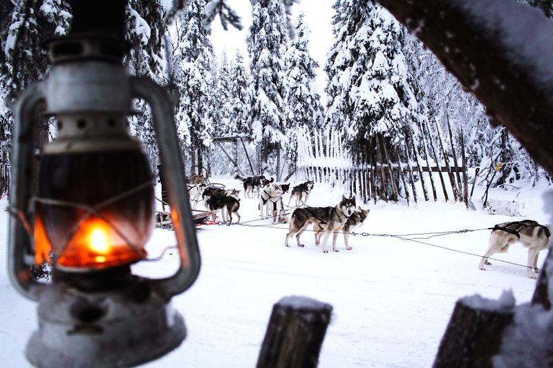 Huskyfarm Husky Sleightride Snow Winter Cold Temperature Tree Weather Animal Themes Nature Dog Pets Beauty In Nature Outdoors